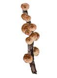 Hängender Pilz auf dem trockenen Baumast lokalisiert auf weißem Hintergrund Stockfoto