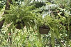 Hängender Vase des Farns im Garten Stockfoto