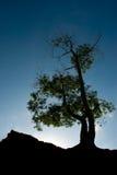 härdad tree Arkivbilder