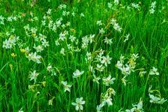 Härlig äng mycket av pingstliljan i Carpathian berg royaltyfria foton