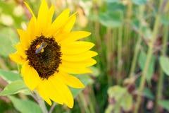 Härlig öppen gul solrosknopp med frö och biet med pollen på benen arkivfoton