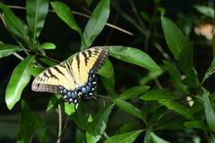 Härlig östlig Tiger Swallowtail fjäril Arkivfoto