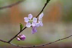 Härlig abstrakt bild av att blomstra äpplefilialen Nytt vitt rosa kronblad, anbudknoppar och ljust - gröna små sidor på blurr Royaltyfri Foto