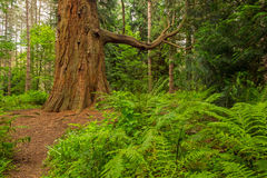 Härlig amerikansk redwoodträd i en engelsk skog Royaltyfria Bilder