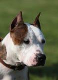 Härlig amerikanska Staffordshire Terrier Fotografering för Bildbyråer