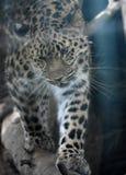 Härlig amur leopard med ett päls- lag Arkivbild