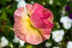 Härlig anemonblomma i trädgården Arkivfoton