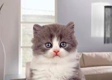 Härlig angora- kattunge med grått och mjukt hår Arkivbild