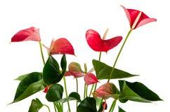 härlig anthedesiaanthurium Arkivbilder