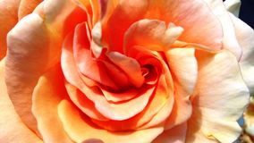 Härlig apelsin - aprikons steg arkivfoton