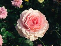 Härlig apelsin- och rosa färgros Royaltyfri Foto