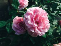 Härlig apelsin- och rosa färgros Arkivfoton