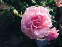 Härlig apelsin- och rosa färgros Royaltyfria Bilder