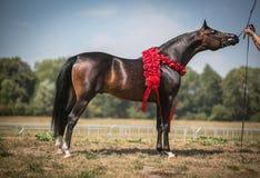 Härlig arabisk häst Fotografering för Bildbyråer