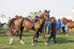 Härlig arabisk häst som får klar för ett uttålighetlopp Arkivfoton