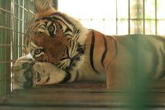 härlig avslappnande tiger Arkivbilder