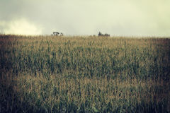 Härlig bakgrund av en cornfield Arkivfoto