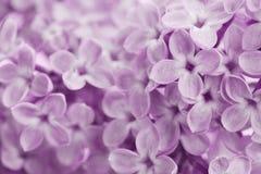 Härlig bakgrund av lilan blommar, blom- textur för tappning Arkivbild
