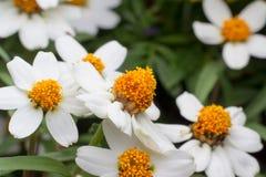 Härlig bakgrund av vita blommor med Arkivfoton