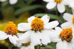 Härlig bakgrund av vita blommor med Royaltyfri Foto