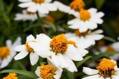Härlig bakgrund av vita blommor med Royaltyfria Foton
