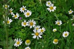 Härlig bakgrund av vita tusenskönor i grönt gräs arkivbilder