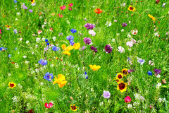 Wild blommor Royaltyfria Bilder
