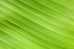 Härlig bakgrund-closeup för bananbladtextur Arkivbilder