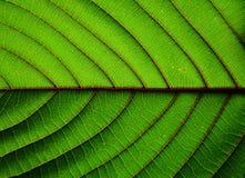 Härlig bakgrund-closeup för textur för à¸-itragynaspeciosablad arkivbild