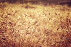 Härlig bakgrund för vetefält Royaltyfria Bilder