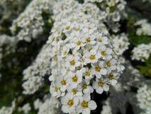 Härlig bakgrund för vita blommor Arkivbilder
