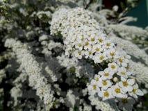 Härlig bakgrund för vita blommor Arkivbild