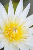 Lotusblommablomma Fotografering för Bildbyråer