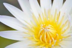 Lotusblommablomma Royaltyfria Bilder