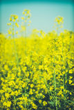 Härlig bakgrund med den gula rapsfröt för blommafält i blom Arkivbild