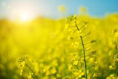 Härlig bakgrund med den gula rapsfröt för blommafält i blom Fotografering för Bildbyråer