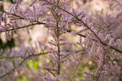 Härlig bakgrund med rosa blomningar Blommande trädwi för natur Royaltyfri Fotografi
