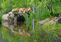 Härlig banhoppning för röd räv från en vagga fotografering för bildbyråer