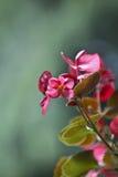 Härlig begonia Arkivfoton