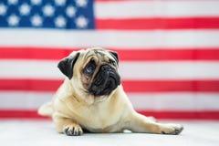 Härlig beige valpmops på bakgrunden av amerikanska flaggan på självständighetsdagen Fotografering för Bildbyråer