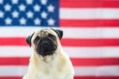 Härlig beige valpmops på bakgrunden av amerikanska flaggan på självständighetsdagen royaltyfria bilder