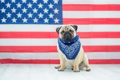 Härlig beige valpmops på bakgrunden av amerikanska flaggan på självständighetsdagen royaltyfri foto