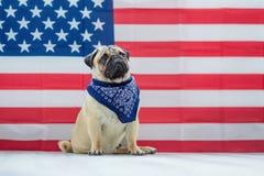 Härlig beige valpmops på bakgrunden av amerikanska flaggan på självständighetsdagen royaltyfri bild