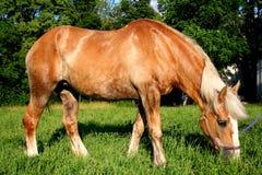 härlig belgisk häst Arkivfoton