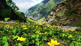 Härlig bergdal av gula blommor, bakgrund arkivfoto