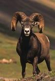 härlig bighorn Fotografering för Bildbyråer