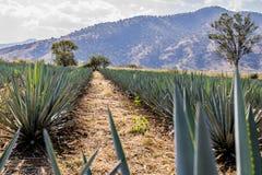 Härlig bild av en bana mellan två raka linjer av blå agave i en tequilakoloni royaltyfria foton