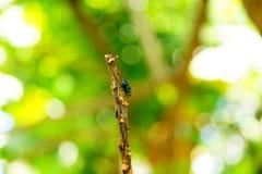Härlig bild av en fruktfluga i Colombia Royaltyfri Foto