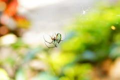 Härlig bild av en spindel som äter en mygga Arkivfoton