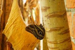 Härlig bild av en stor fjäril i Colombia Arkivfoto